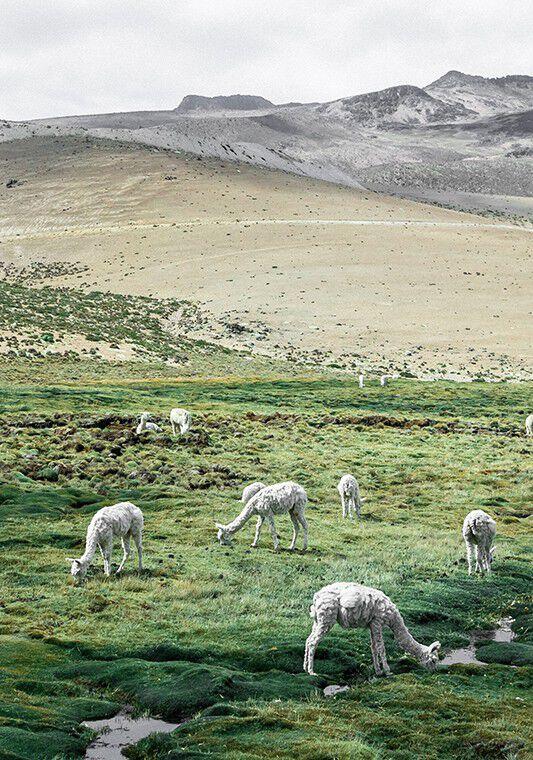 alpaca in a green landscape