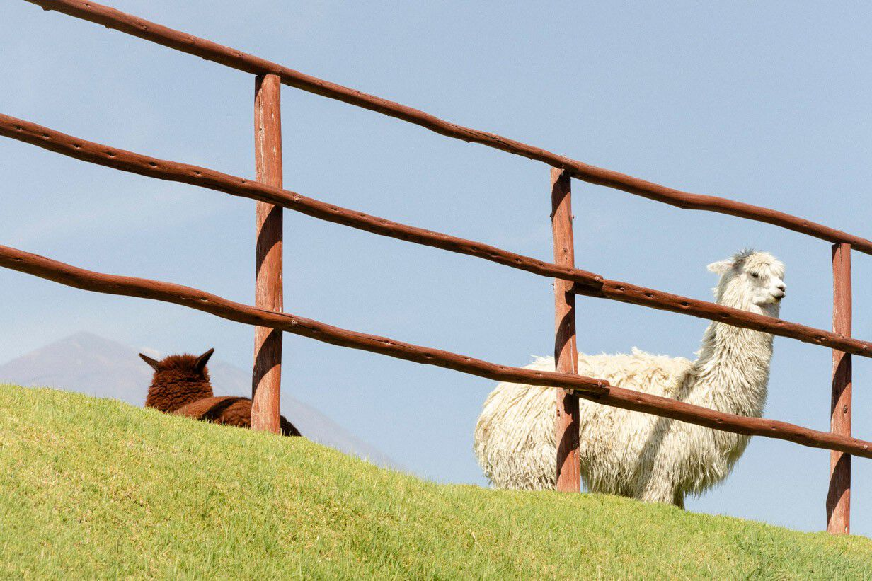 Alpacas in a field
