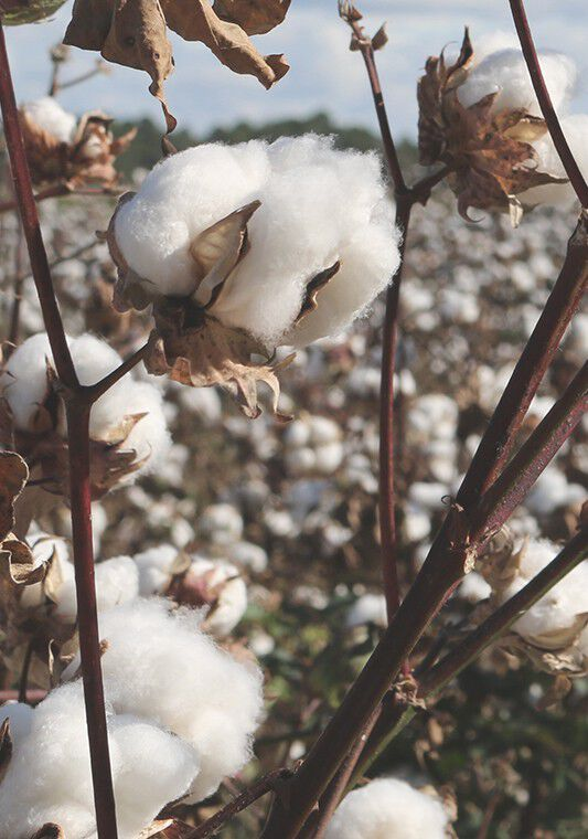Raw cotton in a field